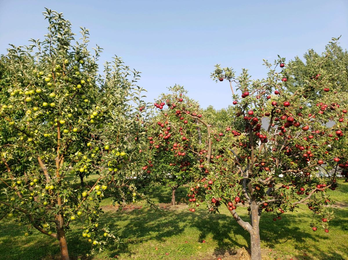 Montoya Orchard trees