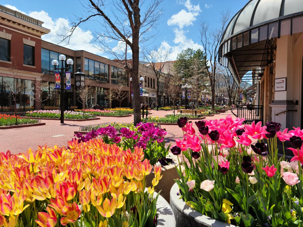 Boulder's Pearl Street is lined with brightly-colored tulips in Spring