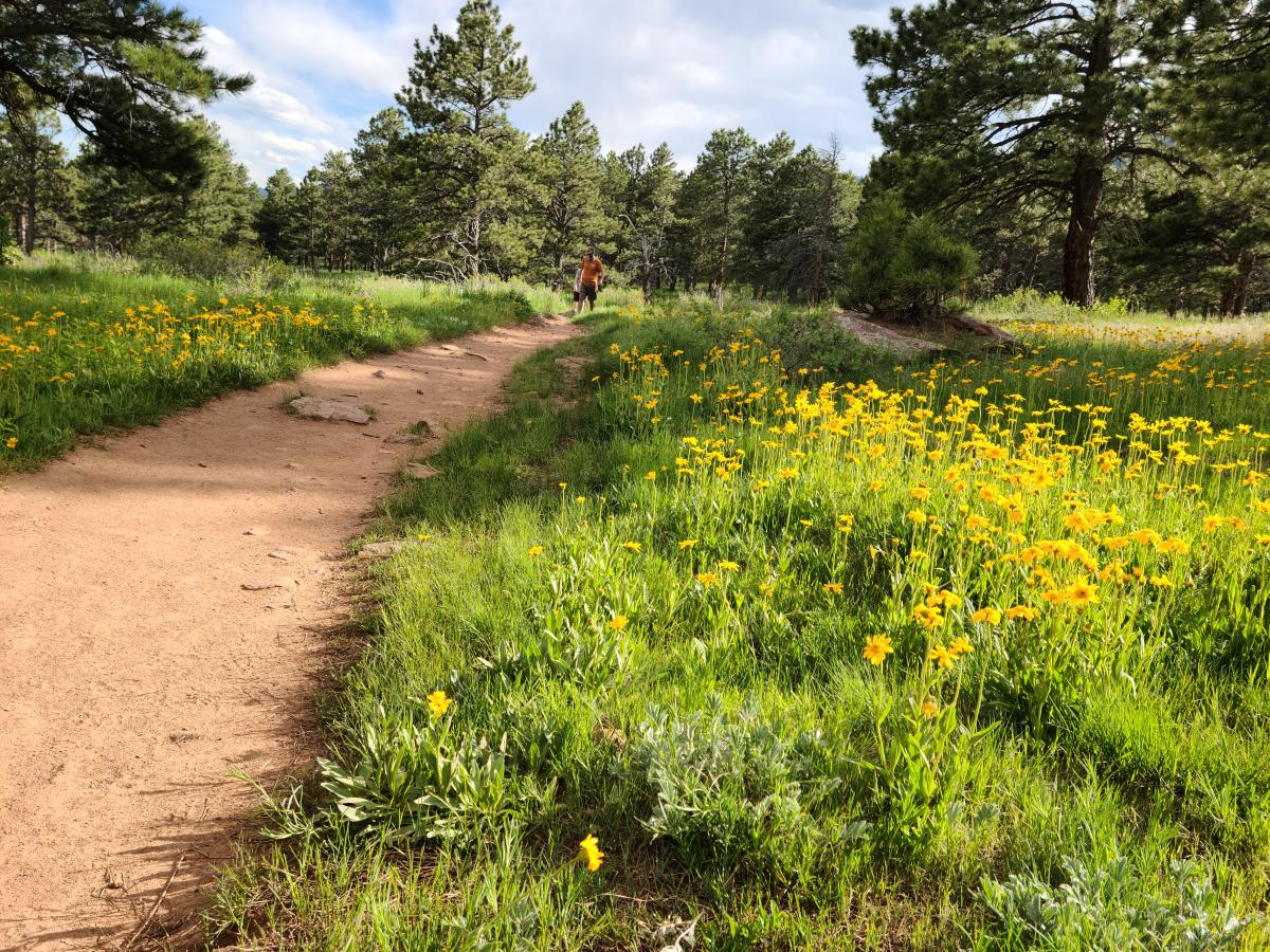 Hiker in the distance on a dirt trail surrounded by yellow flowers in Boulder