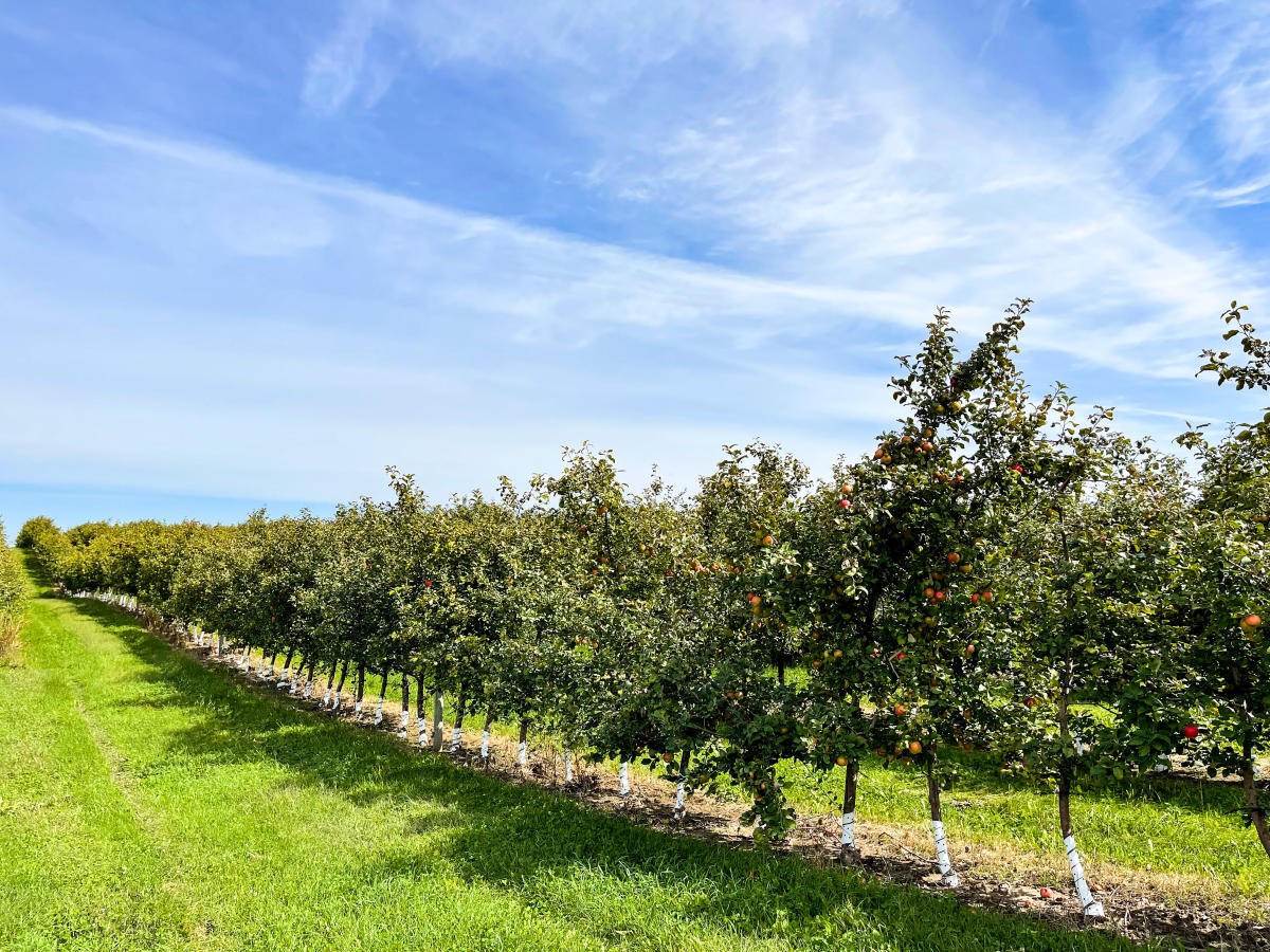 Apple trees at Mcilquham Orchard in Osseo,  WI