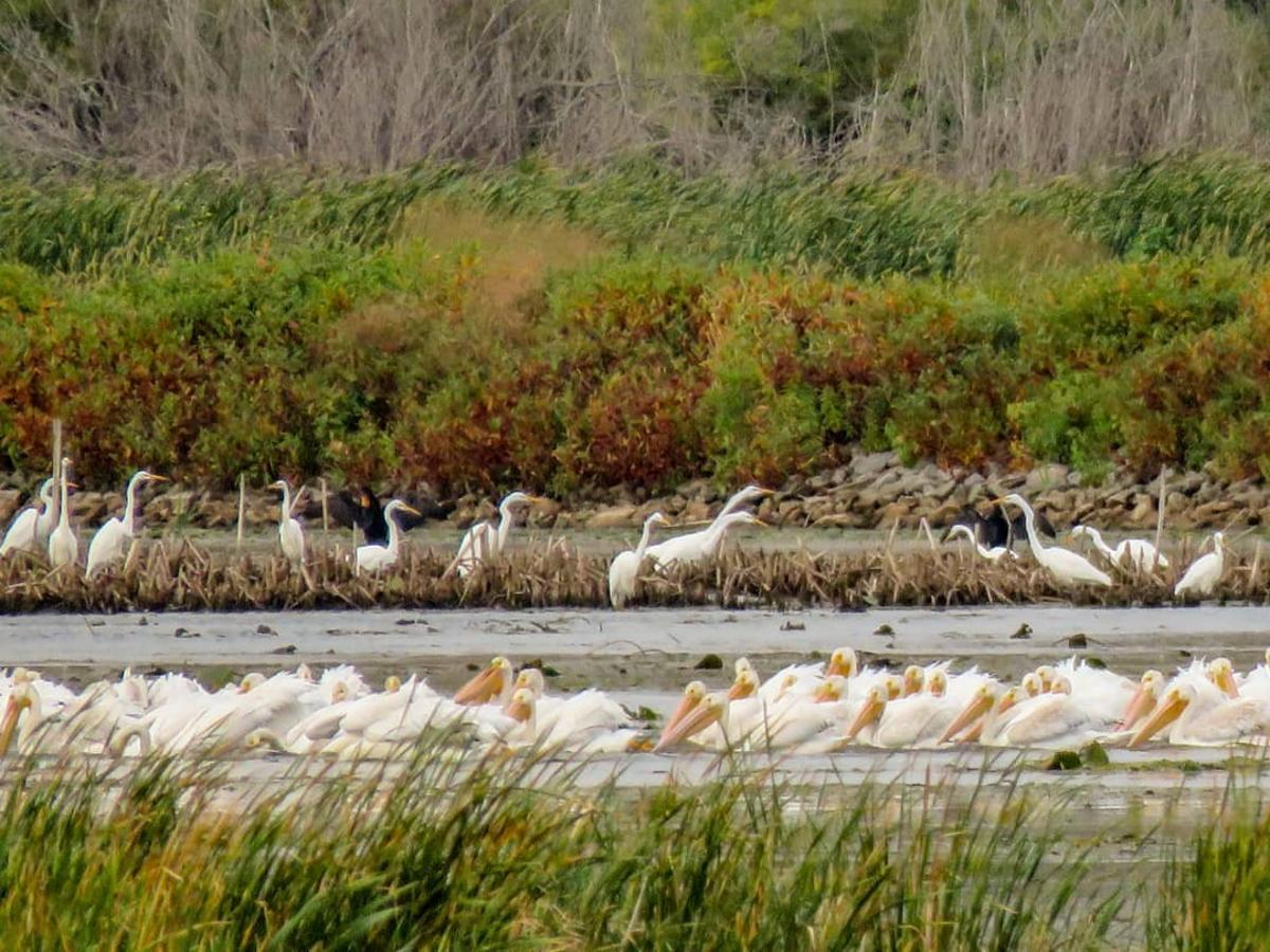 American White Pelicans on the Wildlife Drive at Shiawassee National Wildlife Refuge in Saginaw
