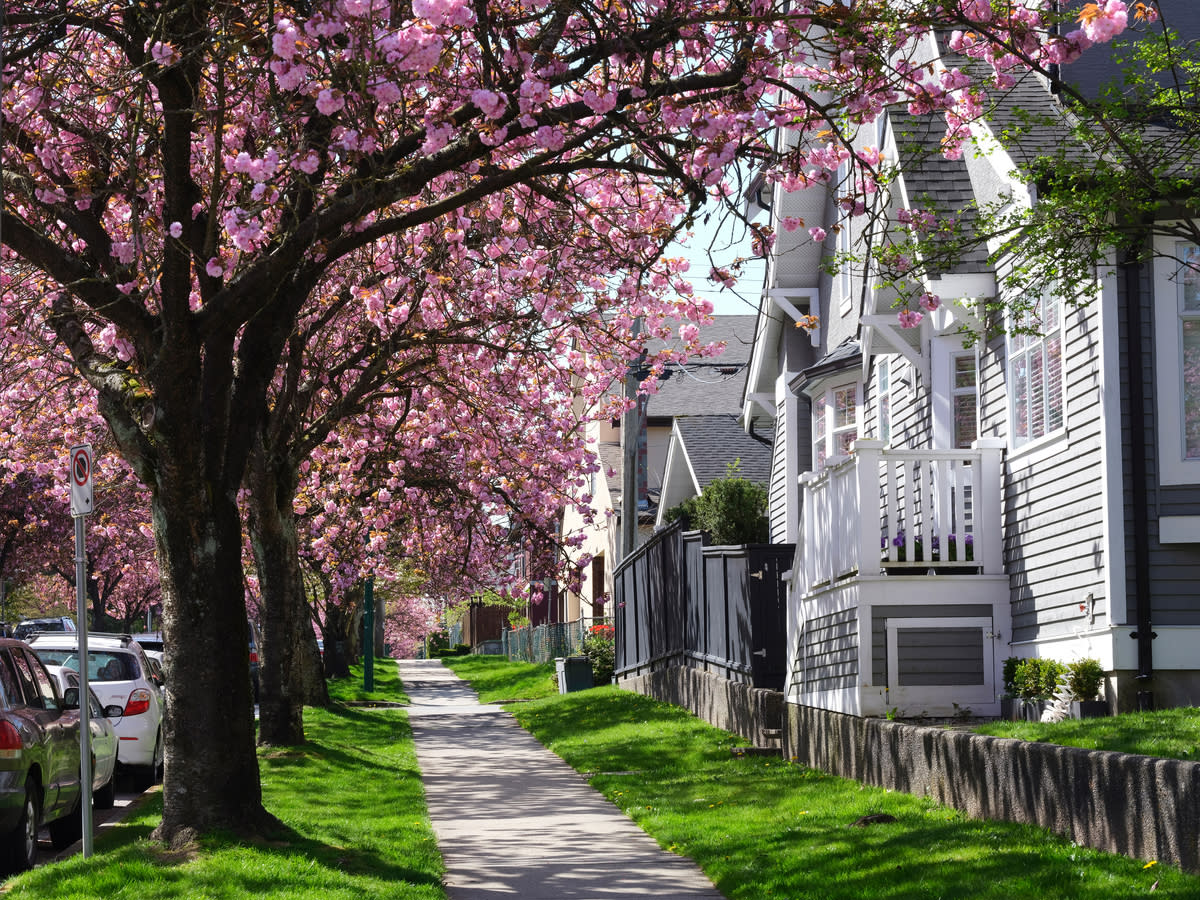 Cherry blossoms in a Vancouver neighbourhood