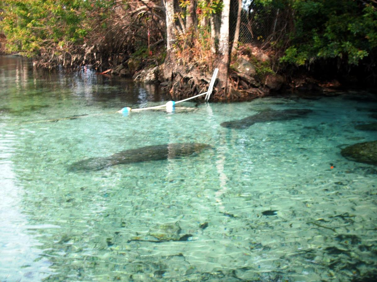 Snorkel with the wild manatees in Crystal River.