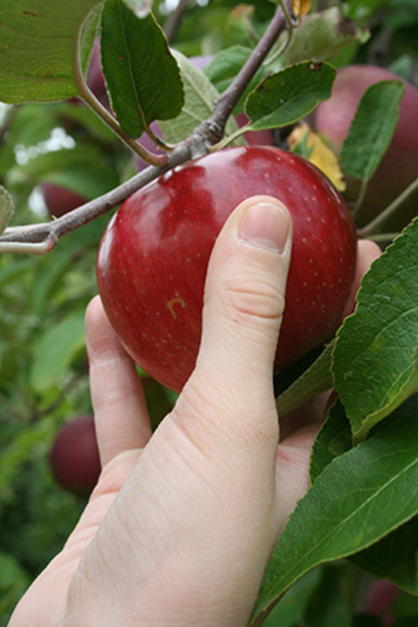 Apple Picking Owens Orchards