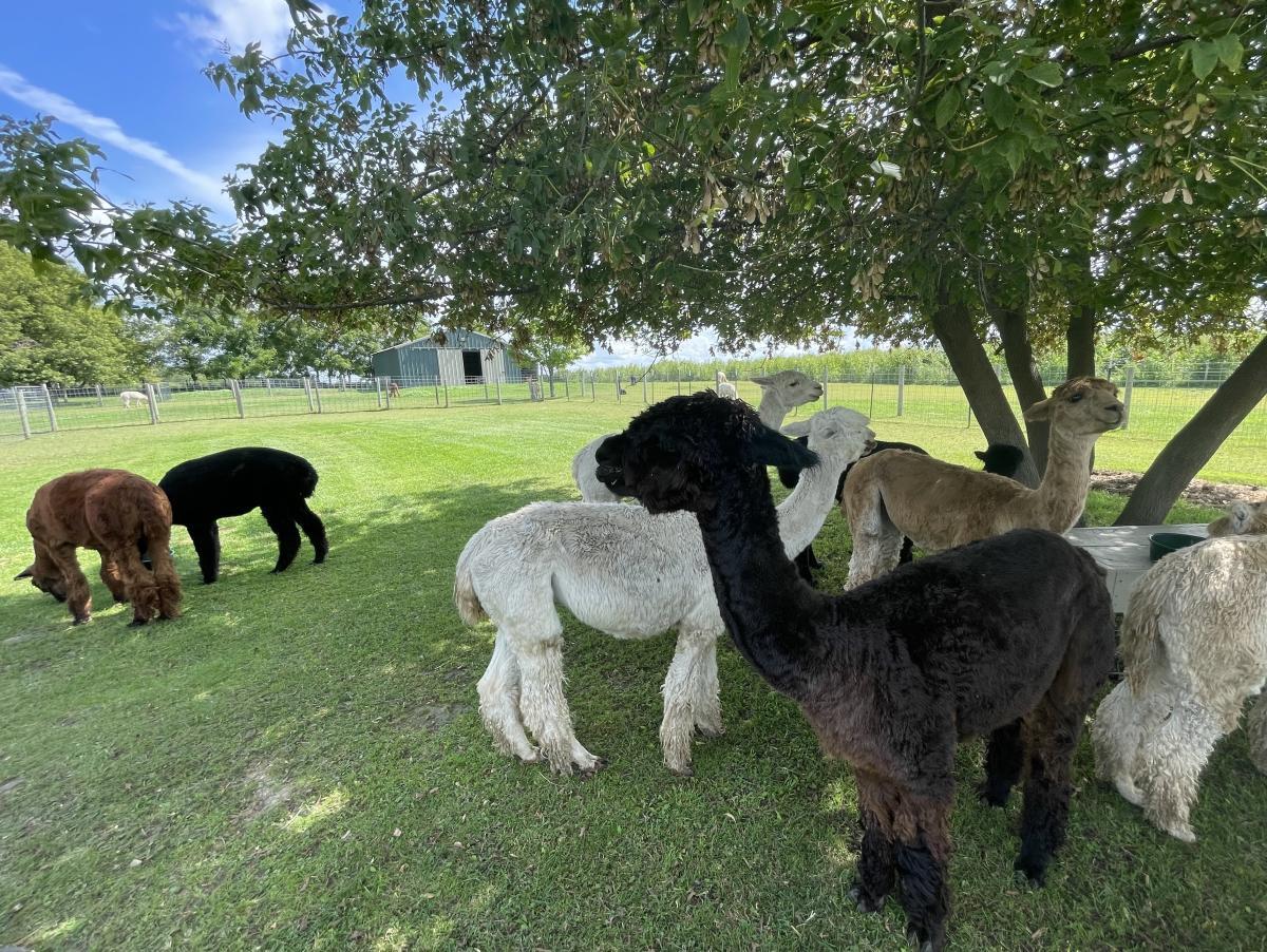 A herd of alpacas at Justorian Alpacas