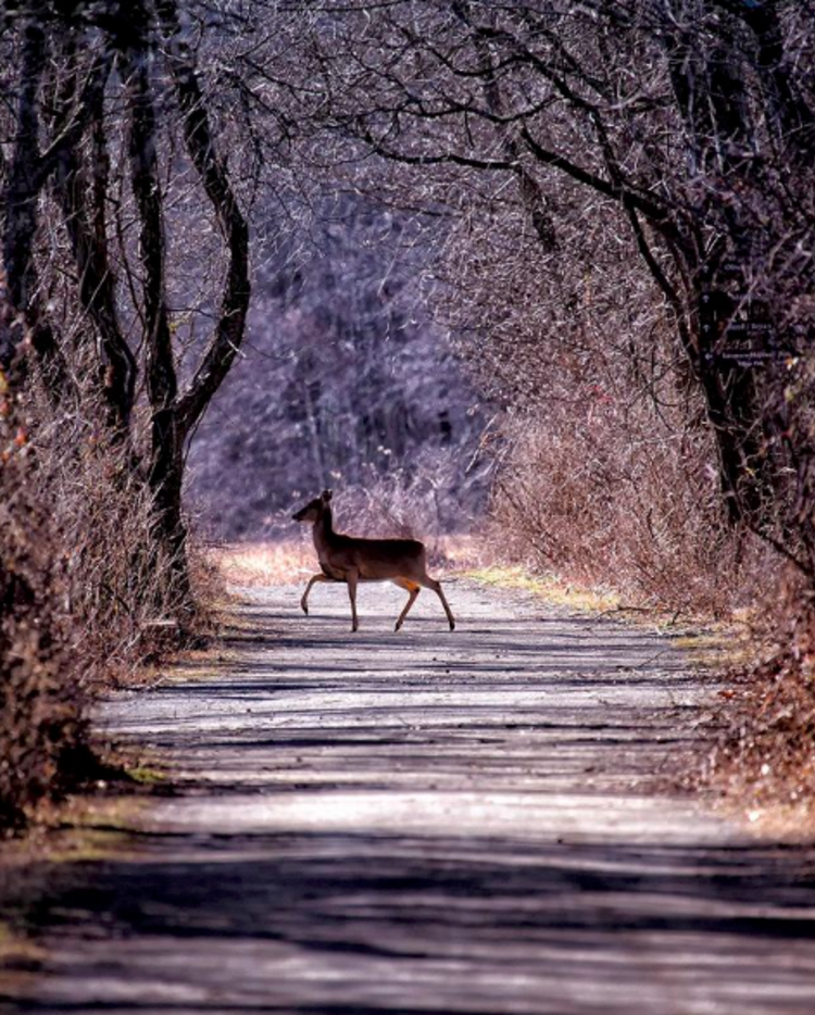 A deer crossing a path at Mercer Meadows in winter near Princeton, NJ.