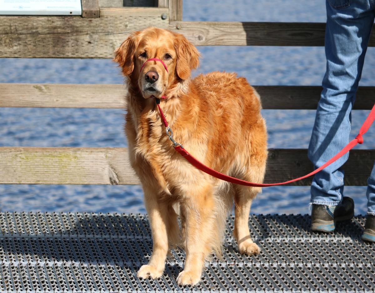 Golden retriever on dock at Juanita Bay