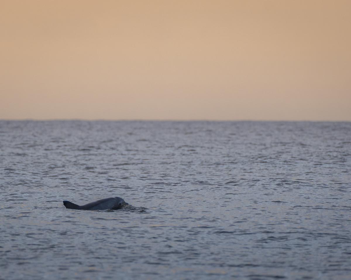 A bottlenose dolphin swims through the calm waters near Jekyll Island, GA