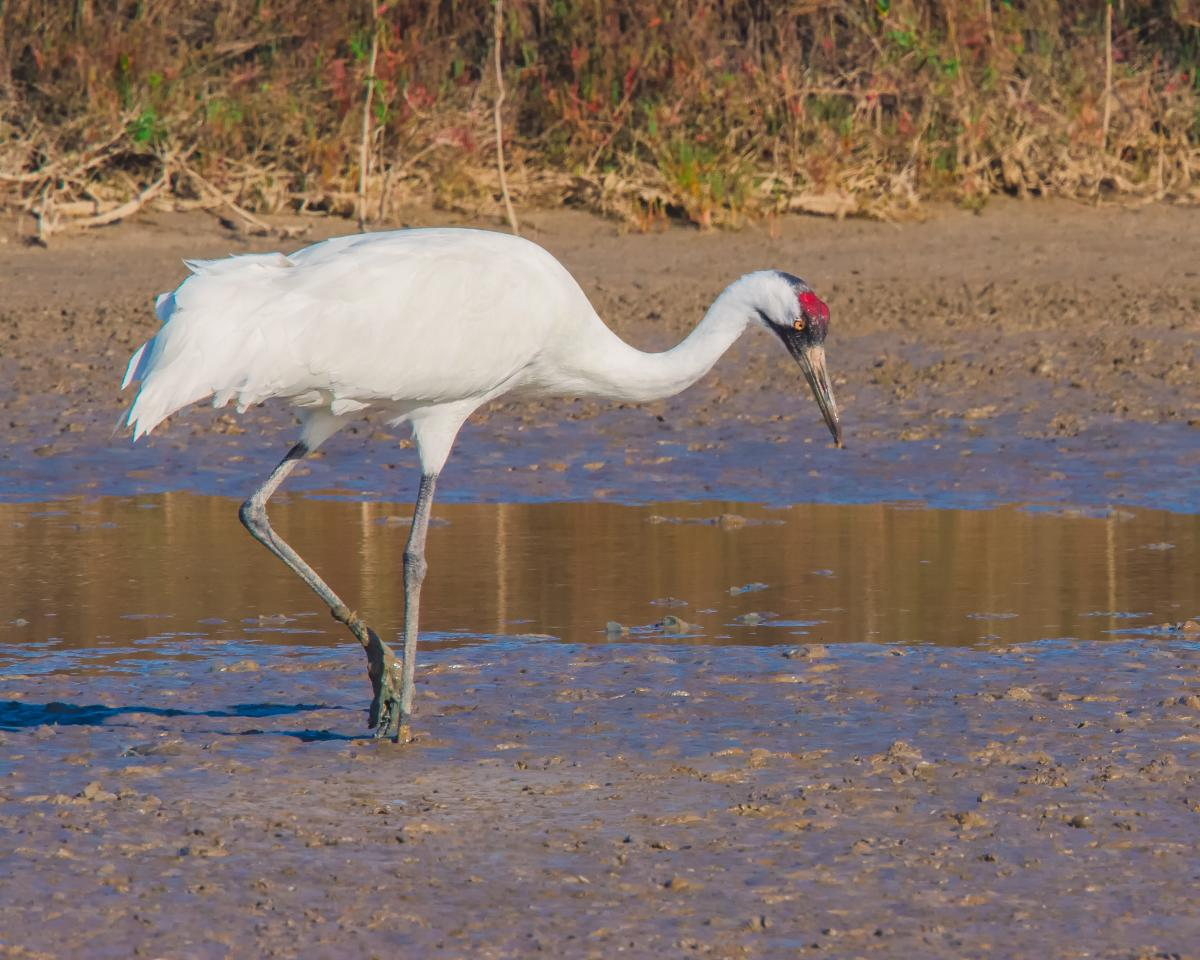 A lone white whooping crane stands in a marsh