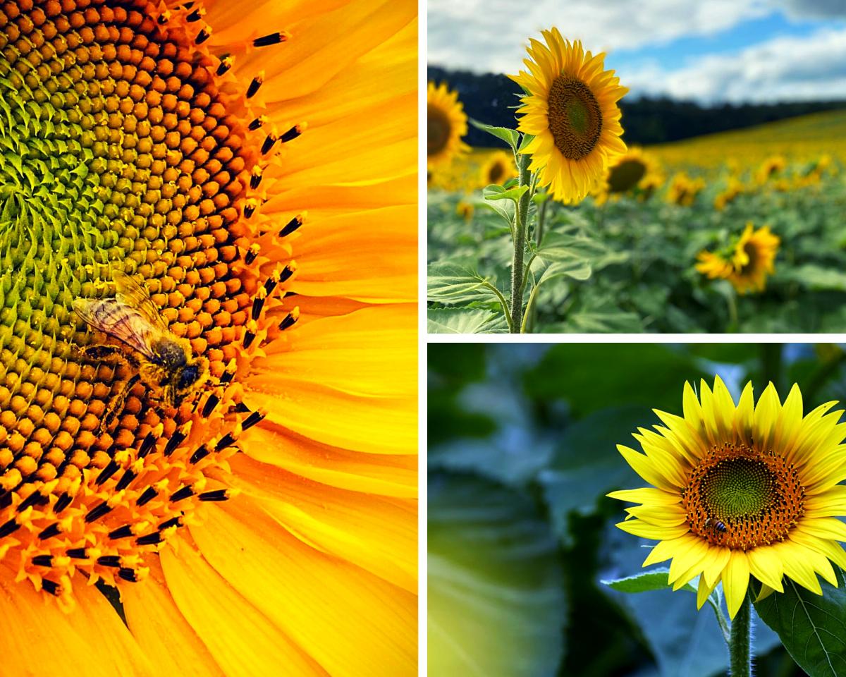 Sunflowers, field, sunny, summer
