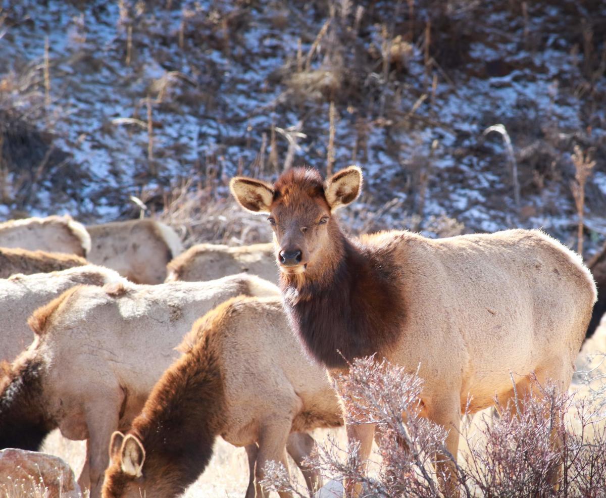 female elk estes park
