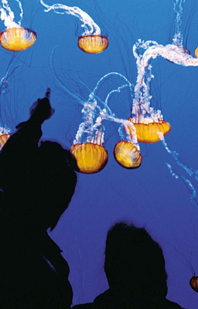 Coms_Jellies Experience at the Monterey Bay Aquarium