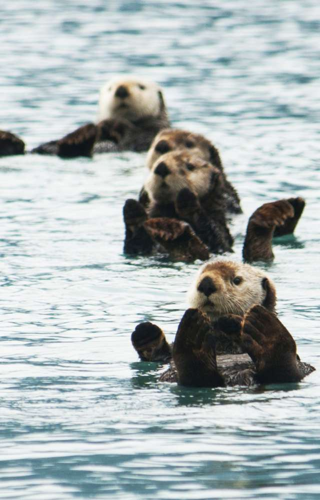 A group of sea otters