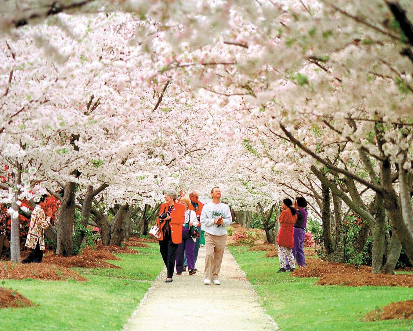 Where To See Macon S Cherry Blossom Trees