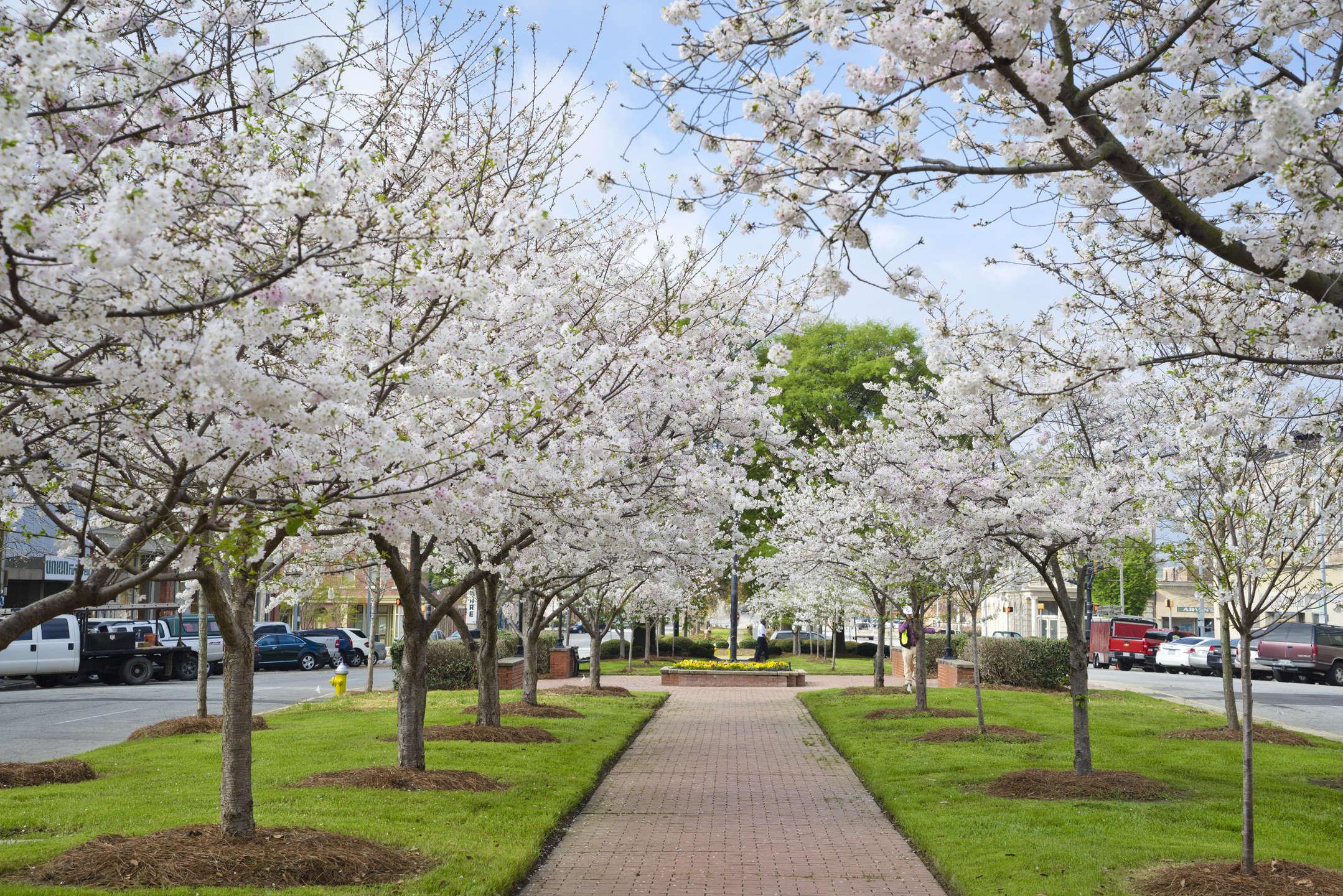 The Beauty Behind Macon S Yoshino Cherry Trees