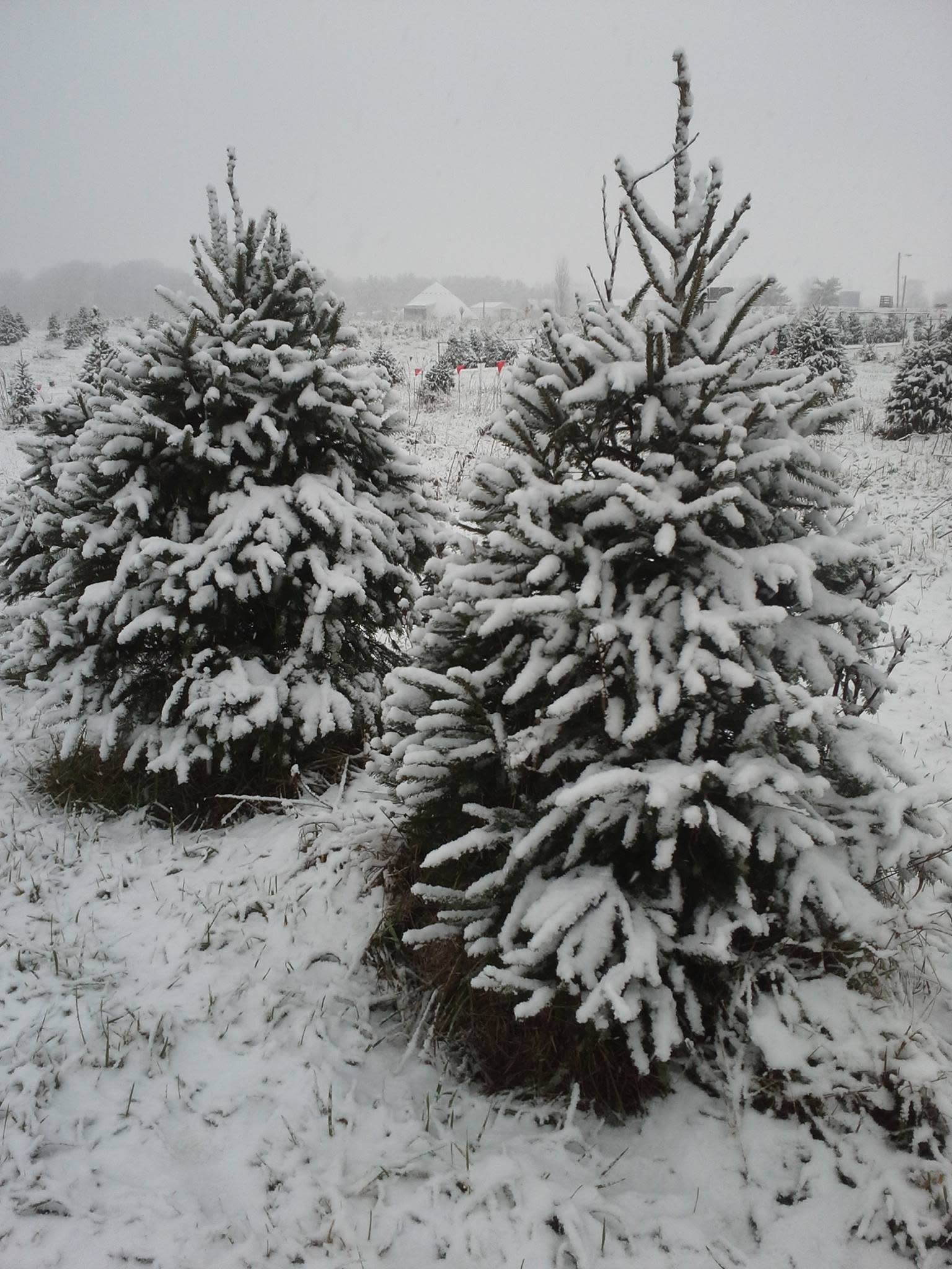 Dreamland Tree Farm