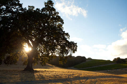 Oak-Tree-and-Hills-in-Paso_0
