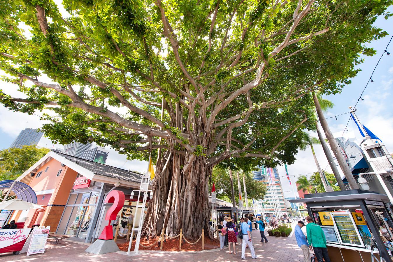 albero di banyan