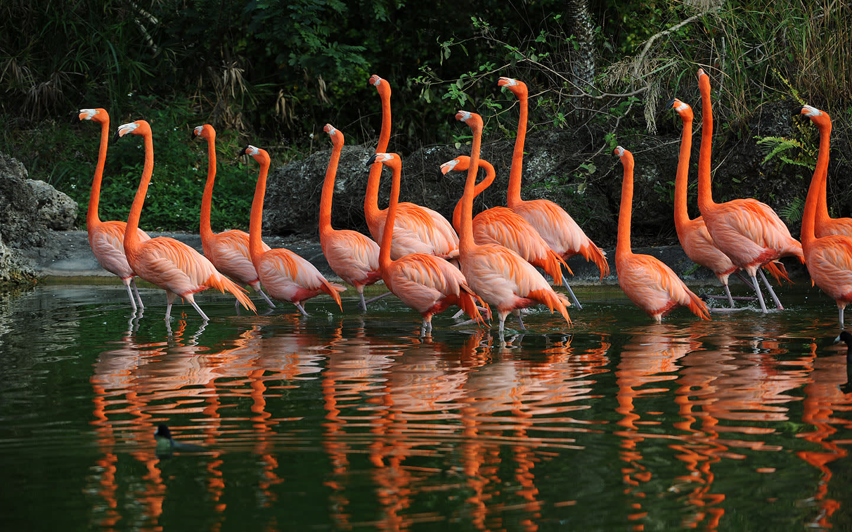 Flamingos Marching