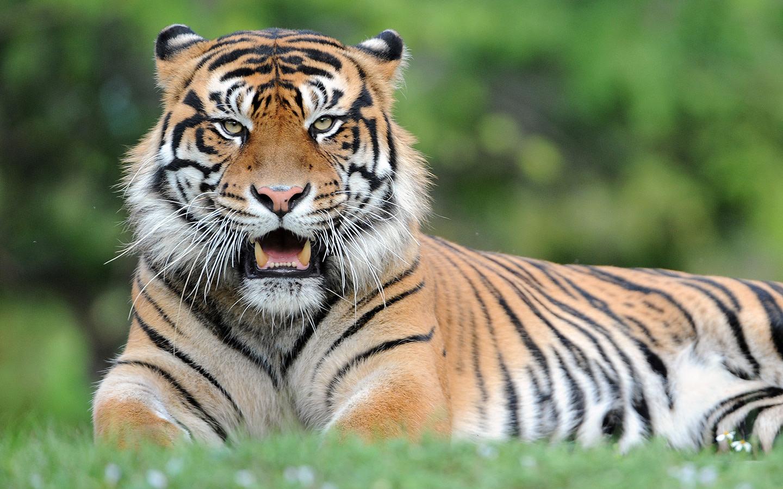 Zoo Miami's Sumatran Tiger