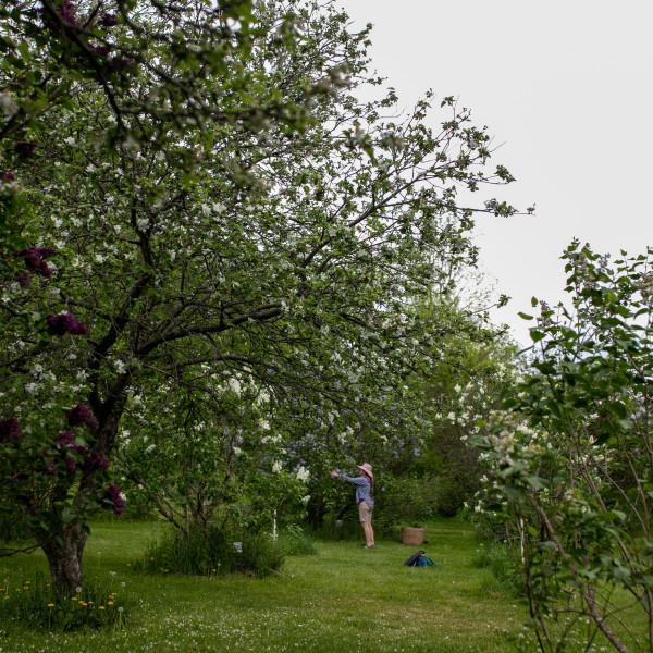 Cherry Valley Lilacs at Bates Hop House