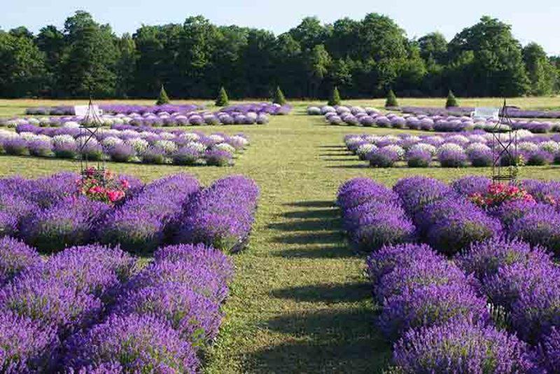 Fragrant Isle Lavender Farm, Shop & Bistro
