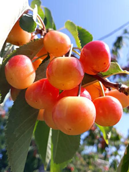 Door County Fruit Connection (1)