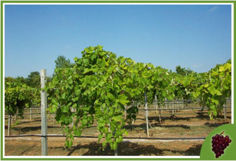 Kugler's Vineyard Featured Image