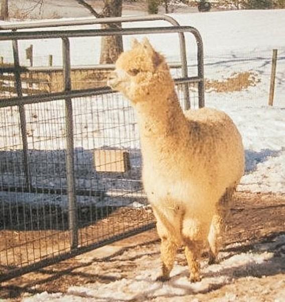 Skyvue Ranch Alpacas