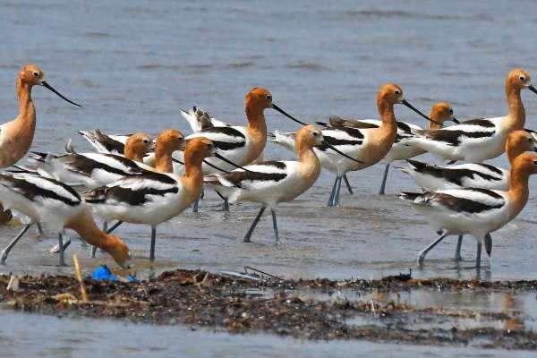 Beaumont Birds - Bolivar Flats