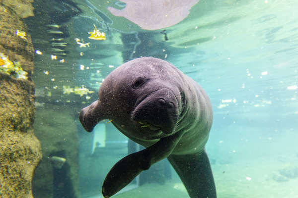 Manatee swimming underwater at ZooTampa