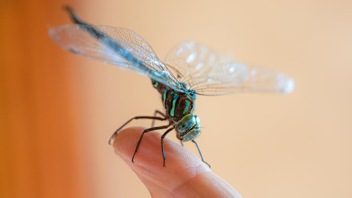 A Quick Guide To New Mexico Dragonflies