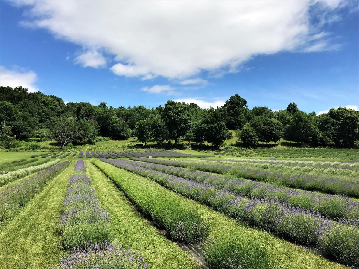 Lavenlair Farm in Saratoga County Opens for the Summer