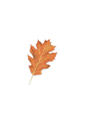 Northern Red Oak leaf