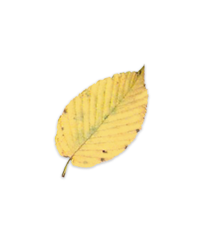 Sweet Birch leaf