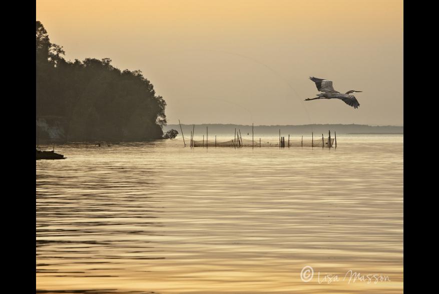Still Pond with Heron in flight
