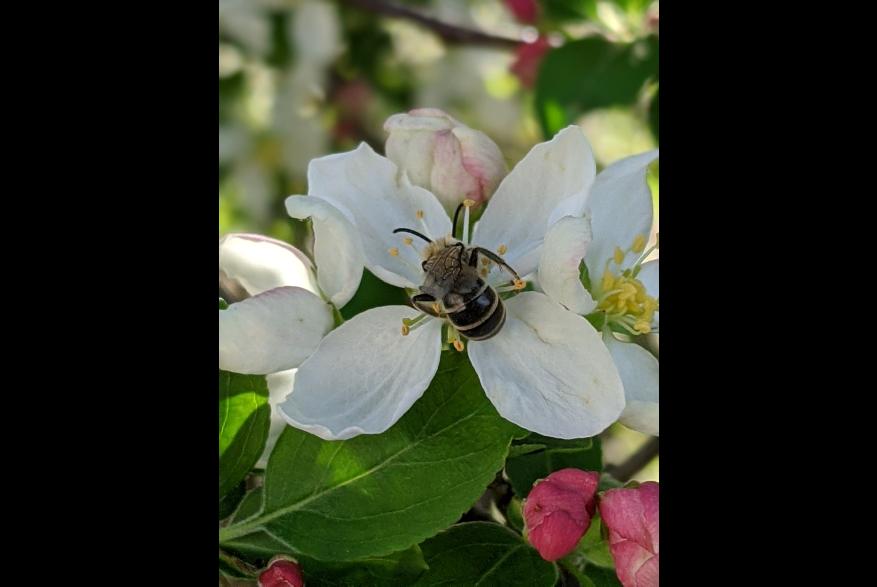 #CaptureTheKentuckyWildlands Photo Contest May/June 2021 - Natural World - Bee on Flower Photo by Sharon Standifer
