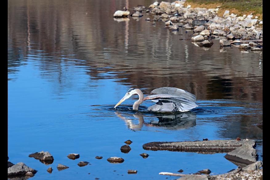 #CaptureTheKentuckyWildlands Photo Contest May/June 2021 - Natural World - Blue heron fishing at Barbourville Park Photo by Peggy Yaeger