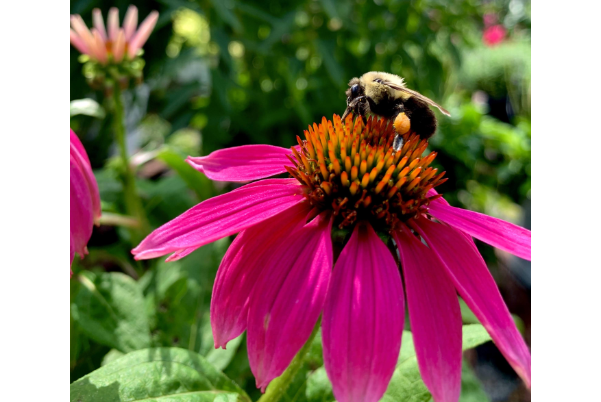#CaptureTheKentuckyWildlands Photo Contest May/June 2021 - Natural World - Bumble Bee on a Fuchsia Flower Photo by Sarah Oliver