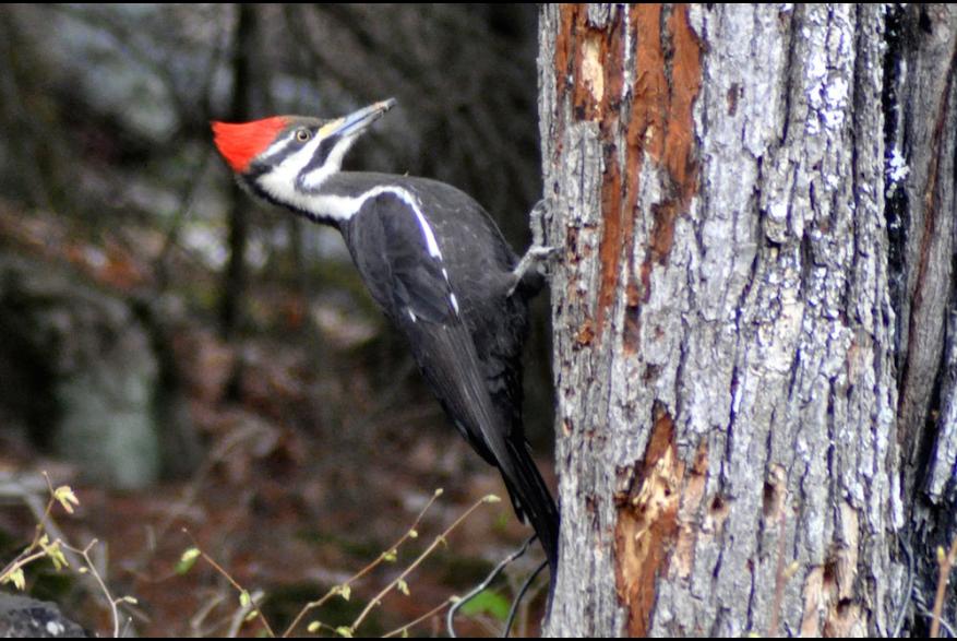 Bird with Red crest