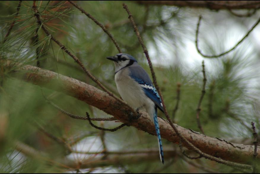 Blue & White bird