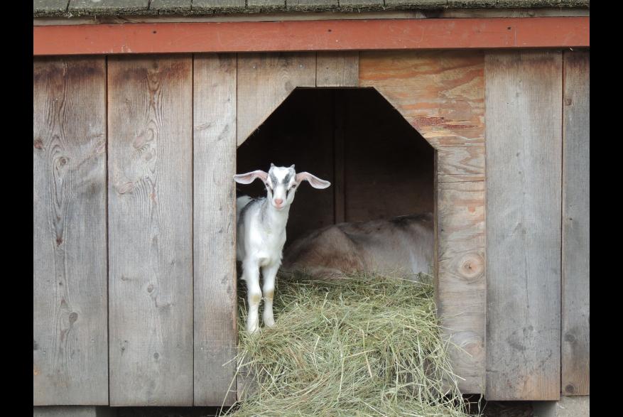 Farm Animals at Quiet Valley