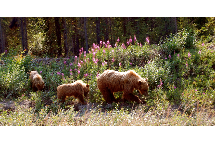 Momma Bear digs Dandelions while cubs watch