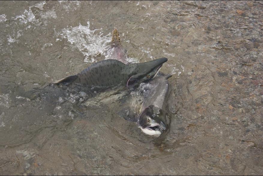 Fighting Pink Salmon