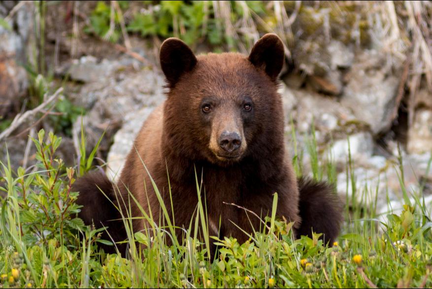 Cinnamon Bear - Jay Allyn Mull