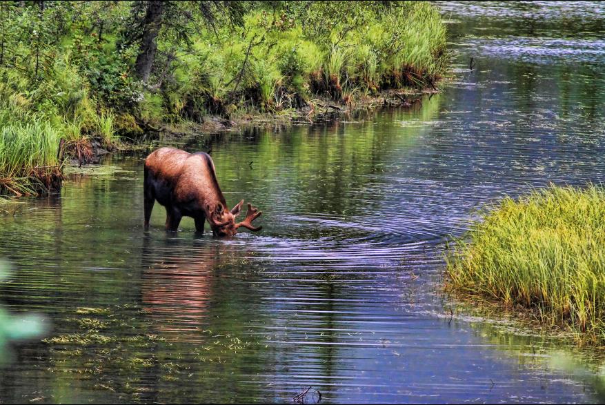Alaska Moose River