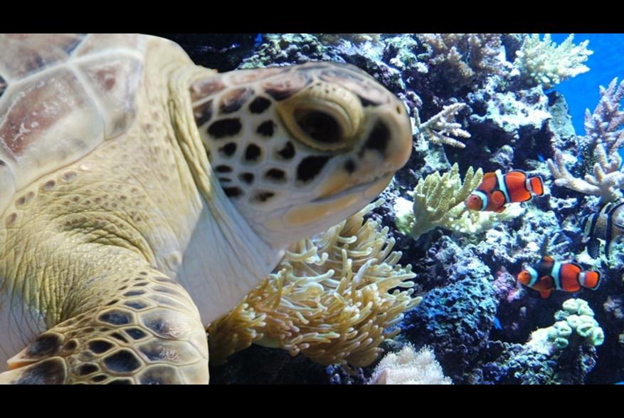 Sea turtle at the NC Aquarium at Fort Fisher