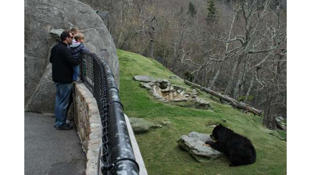 Black Bears Emerge at Grandfather Mountain | Linville