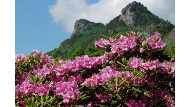 A showy Catawba rhododendron in full bloom
