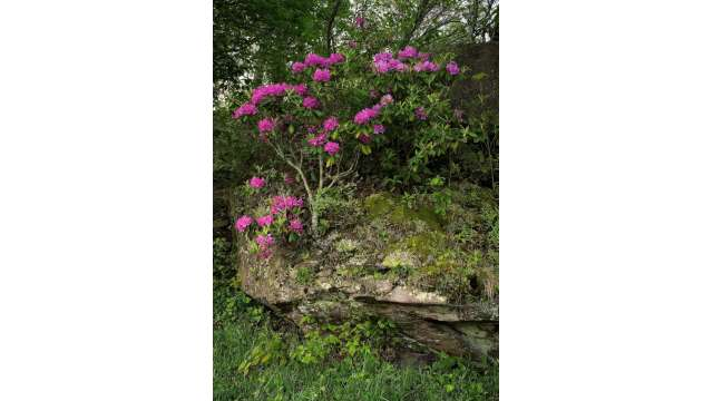 Rhododendron clings to a rock